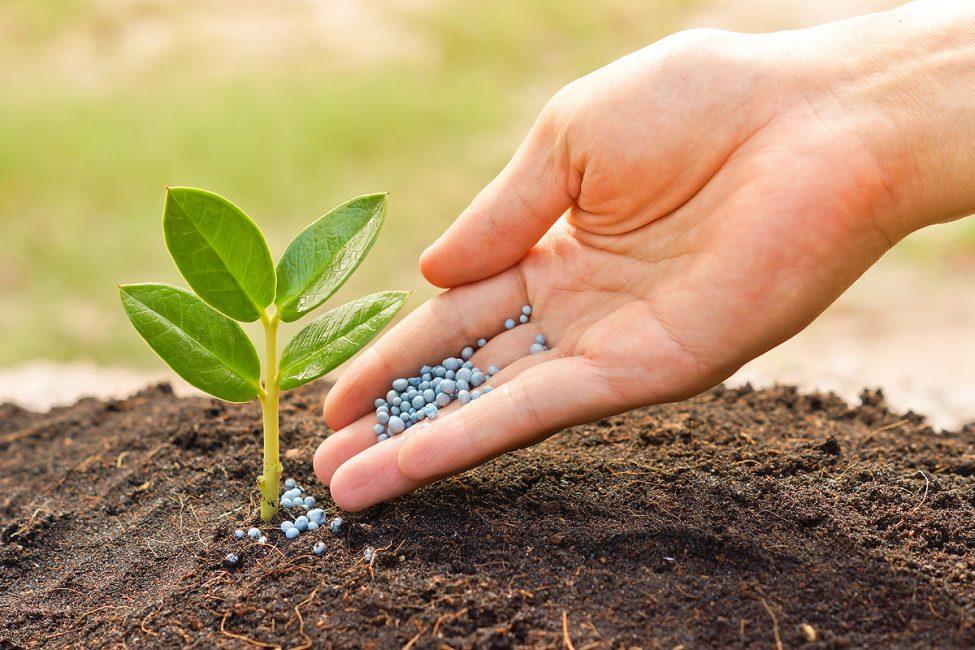 Кофейное дерево необходимо регулярно подкармливать для обеспечения его полноценной вегетации и цветения