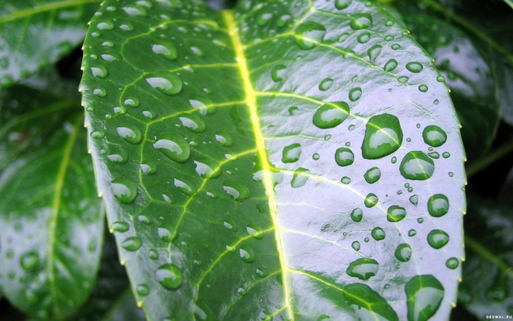 Раз в неделю рекомендуется обрызгивать листья кофейного дерева при помощи пульверизатора