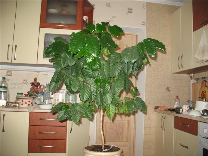 Кофейное дерево возрастом 4 года
