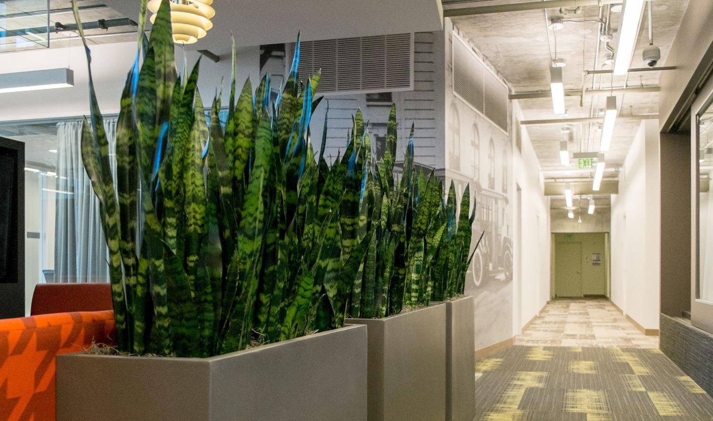 сансевиерия для озеленения