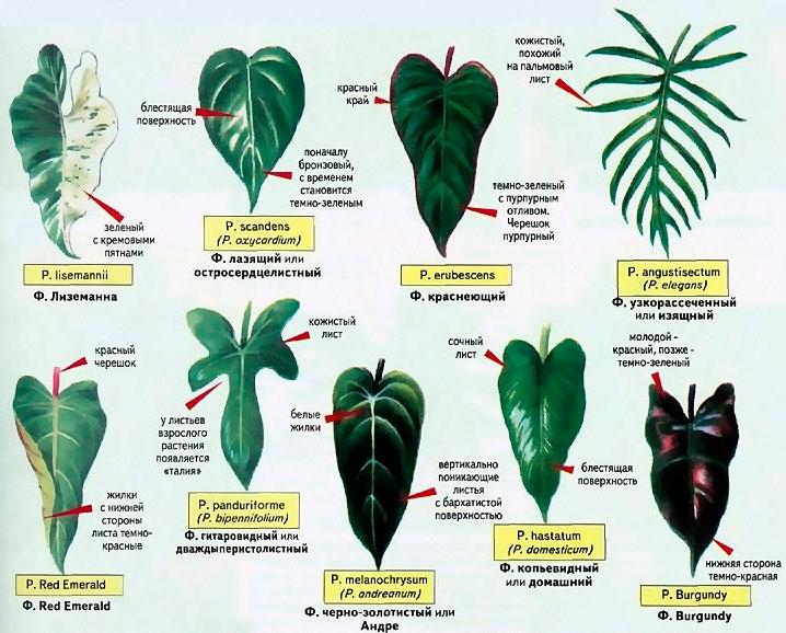 Филодендрон виды и названия с фото