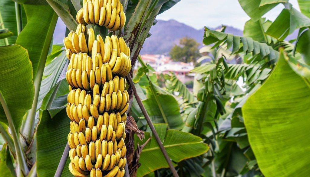 заведении как растут бананы картинки одного