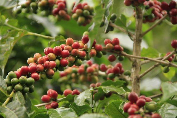 Конголезское кофейное дерево