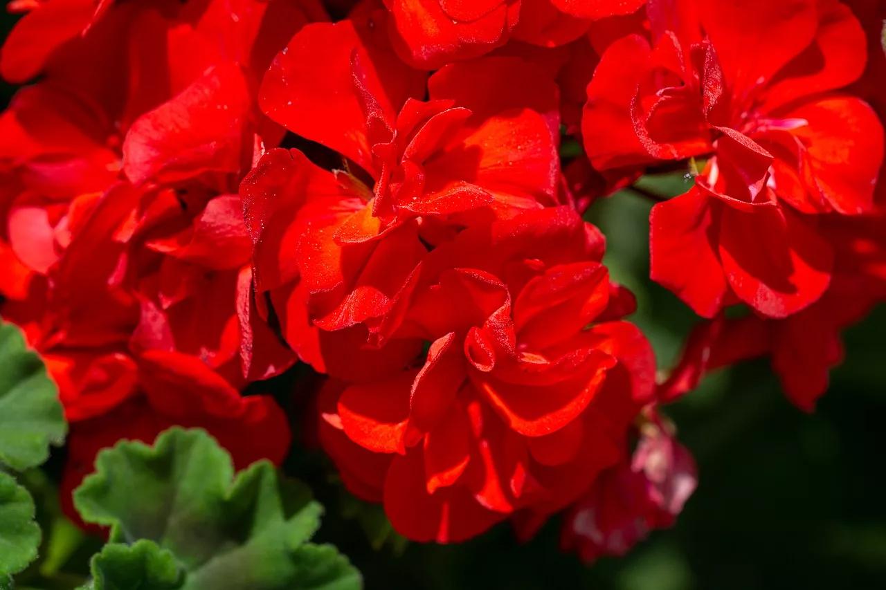 каждом герань с красными листьями фото и название плов