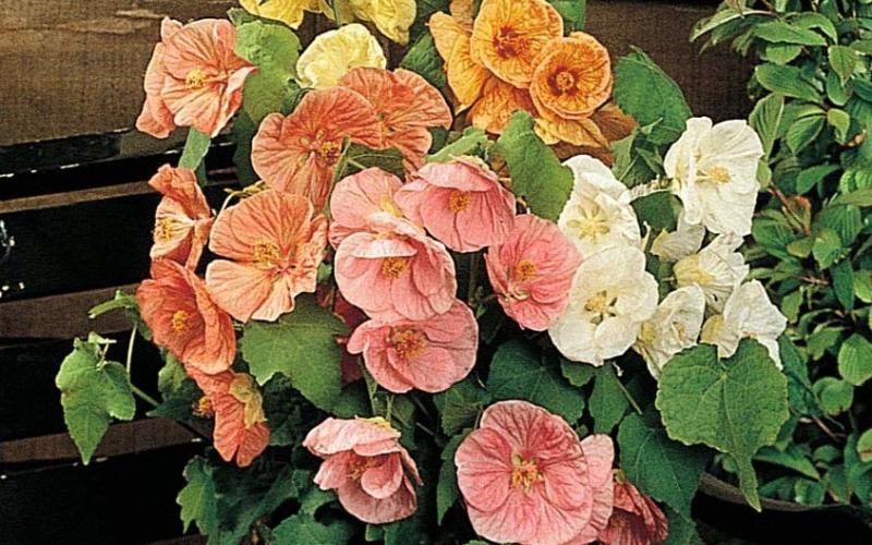 Цветок Абутилон: комнатный клен