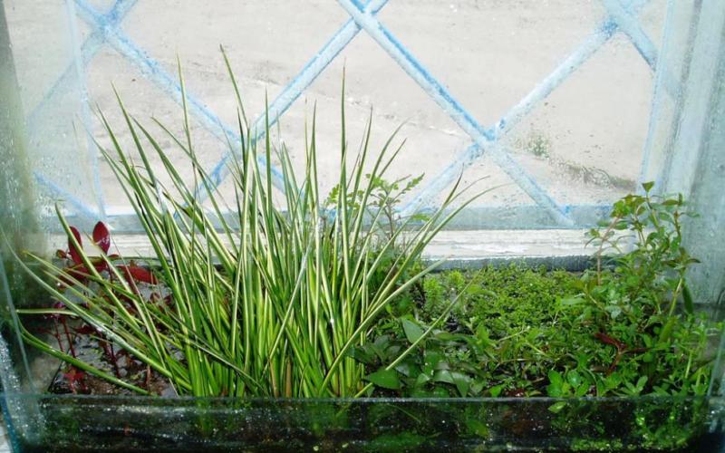 Растение Аир и его лечебные свойства