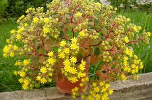 Растение Аихризон