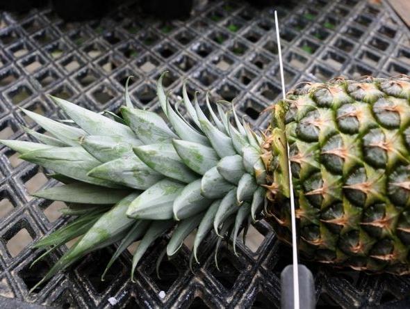 Комнатный ананас: уход в домашних условиях, фото, размножение
