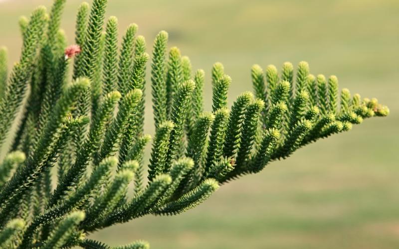 Араукария: зеленые питомцы тропиков