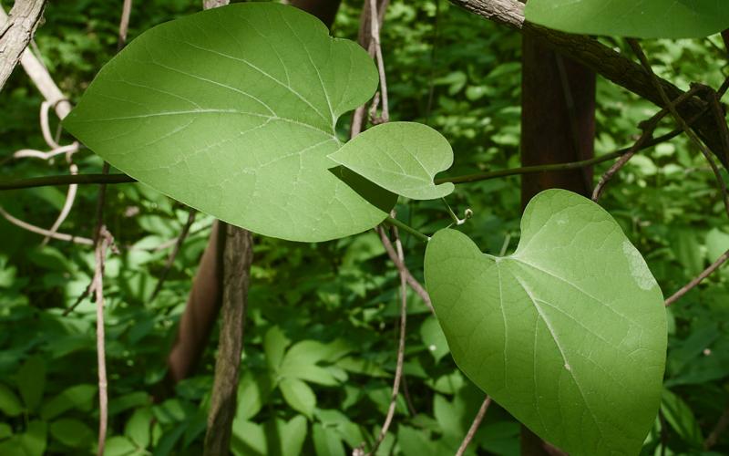 Аристолохия: природное украшения вашего сада