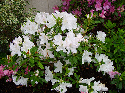 Азалия – растение не для начинающих