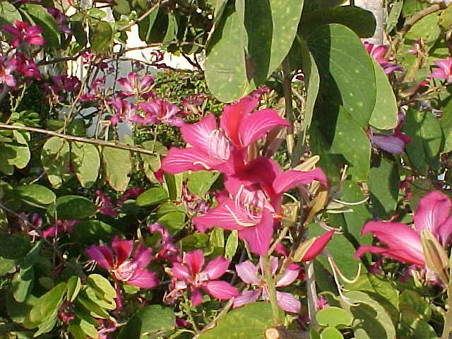 Баухиния