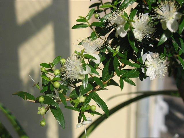 Комнатное растение Евгения