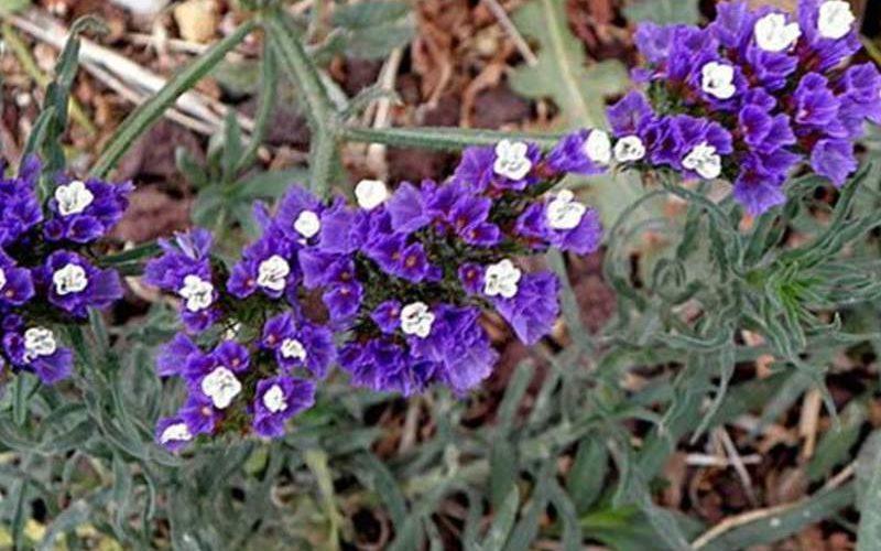 Растение с сухими невянущими цветками