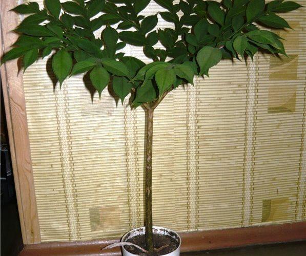 Комнатное растение Аморфофаллус: змеиное дерево