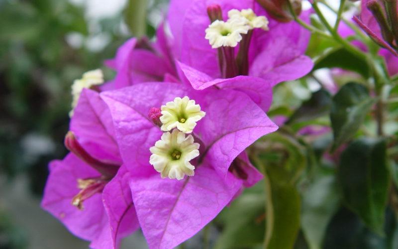 Комнатный цветок Бугенвиллия