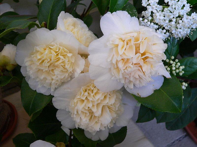 Камелия – цветок самураев.