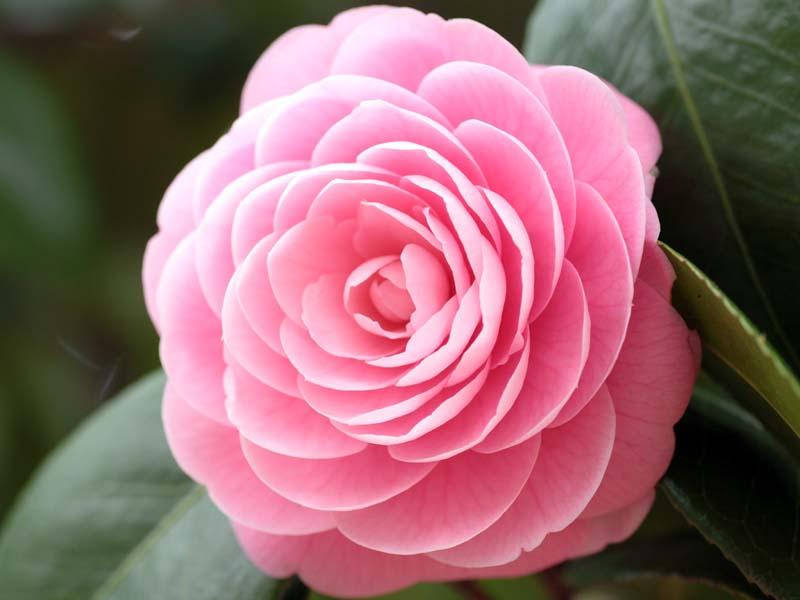 Камелия розовая.