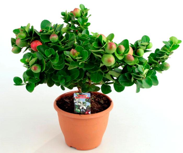 Карисса с плодами