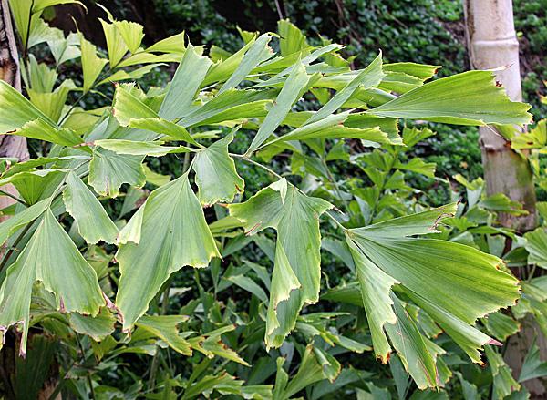 Такие листья обрезать нельзя - коричневые кончики появились скорее всего от неправильного состава грунта
