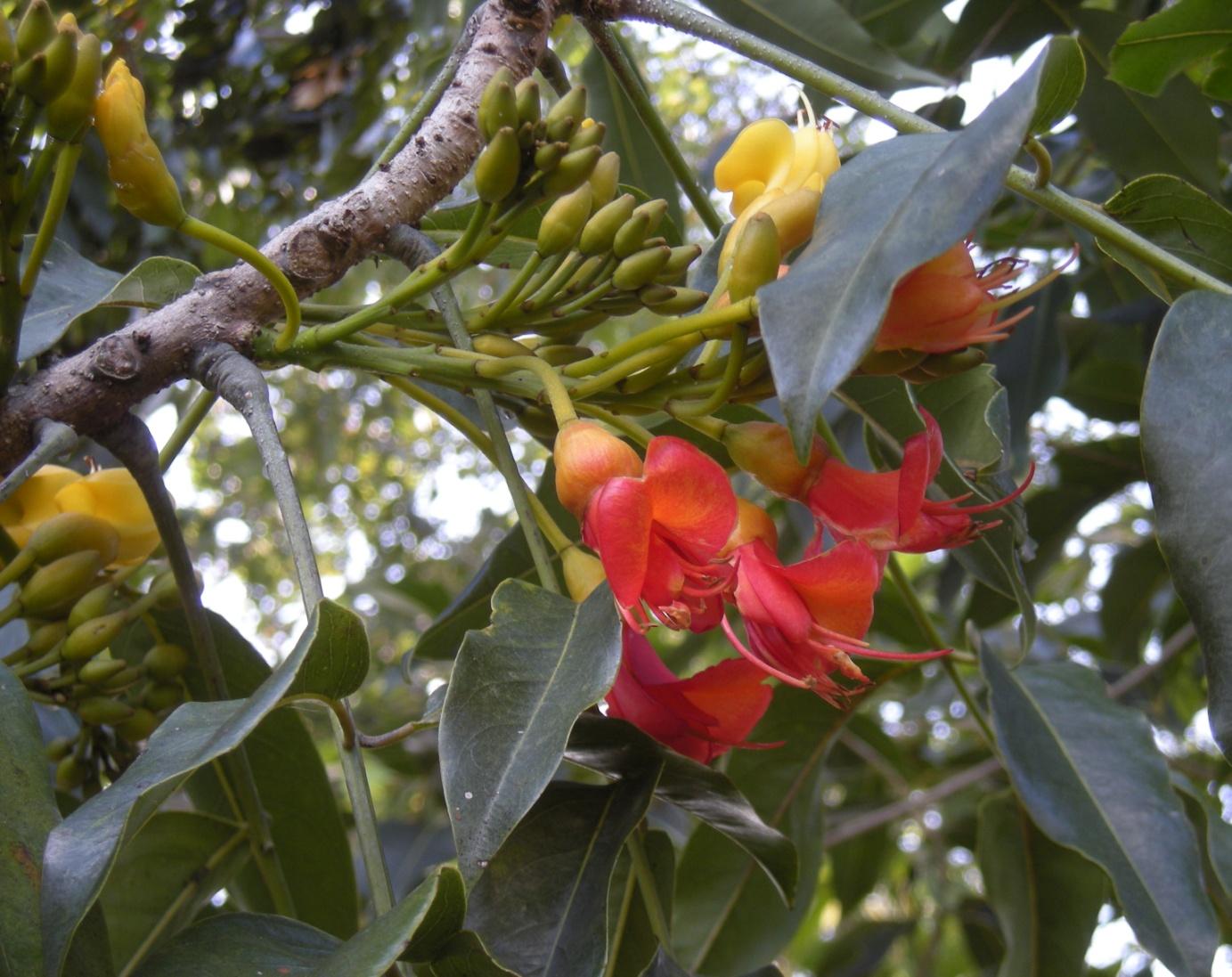 Цветение каштаноспермума в природных условиях