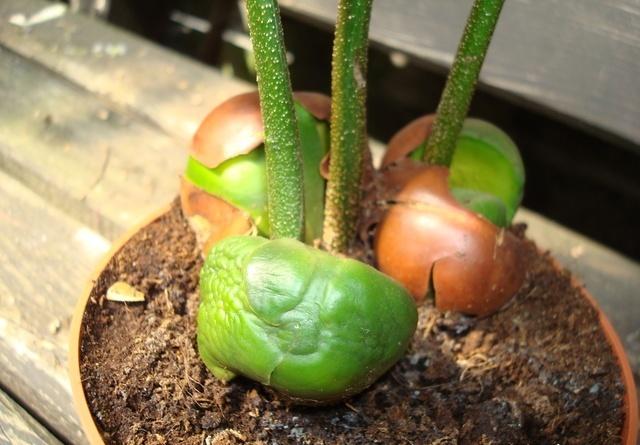 Семядоли начинают сморщиваться