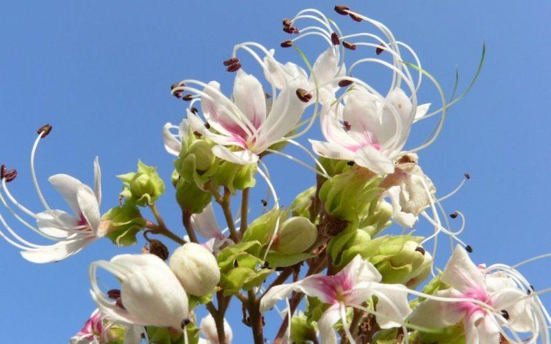 Цветок Клеродендрум: обзор видов и особенности выращивания