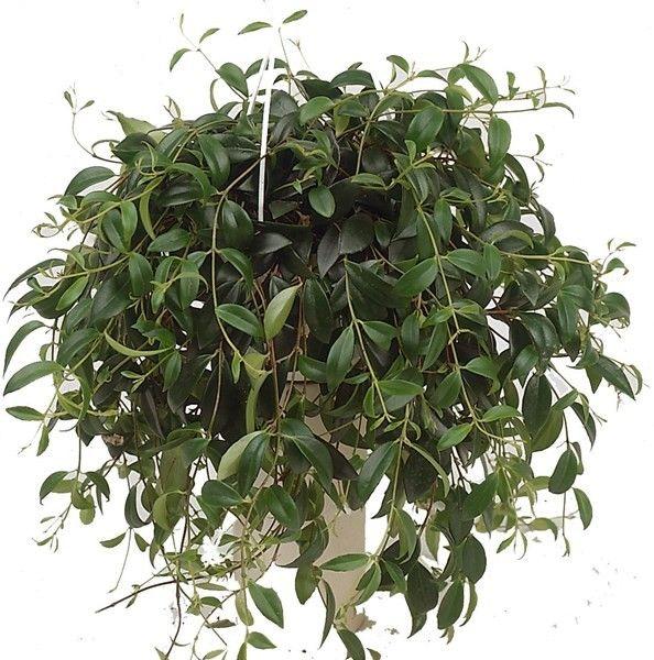 Кодонанта – как ампельное растение