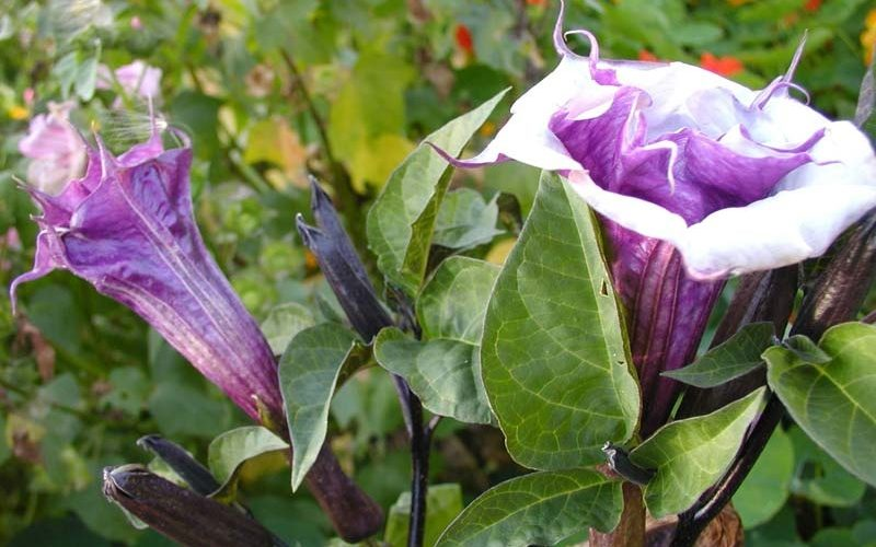Цветок Дурман