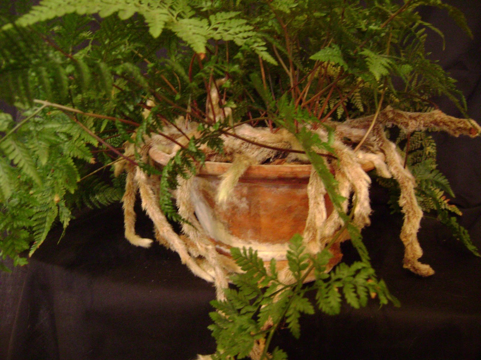 Вот такие пушистые «лапки» выглядывают из под листьев даваллии