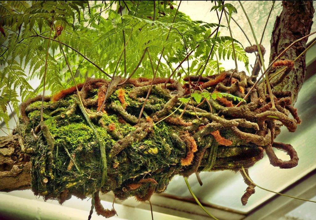 Даваллия, размещённая на стволе дерева