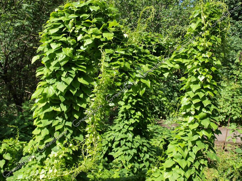 Стебли лианы густо покрыты крупными листьями