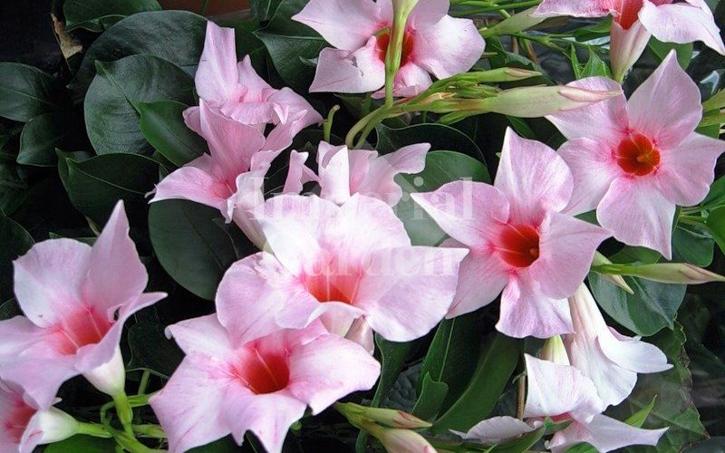 Цветок Дипладения