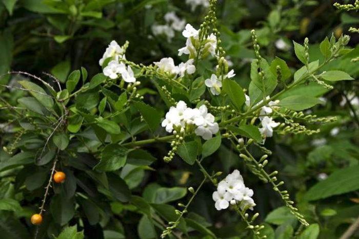 Дуранта Лоренца с цветками и ягодами