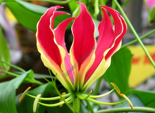 Цветок глориозы Ротшильда – эмблема Замбии