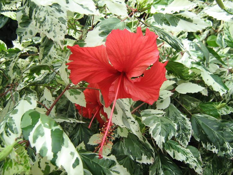 Пестролистная китайская роза
