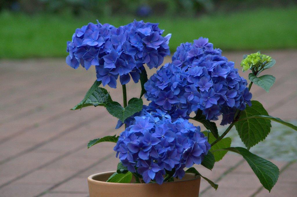 Гортензия с синими цветками
