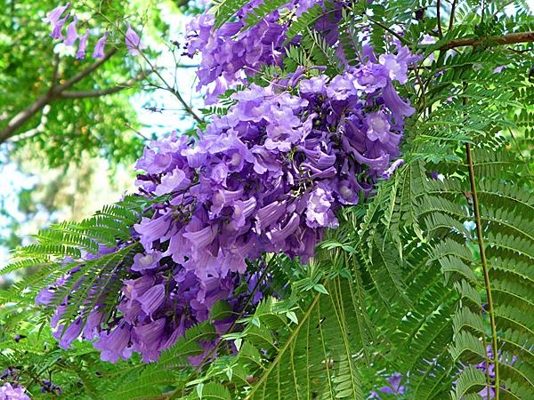 Цветки и листья жакаранды Мимозолистной