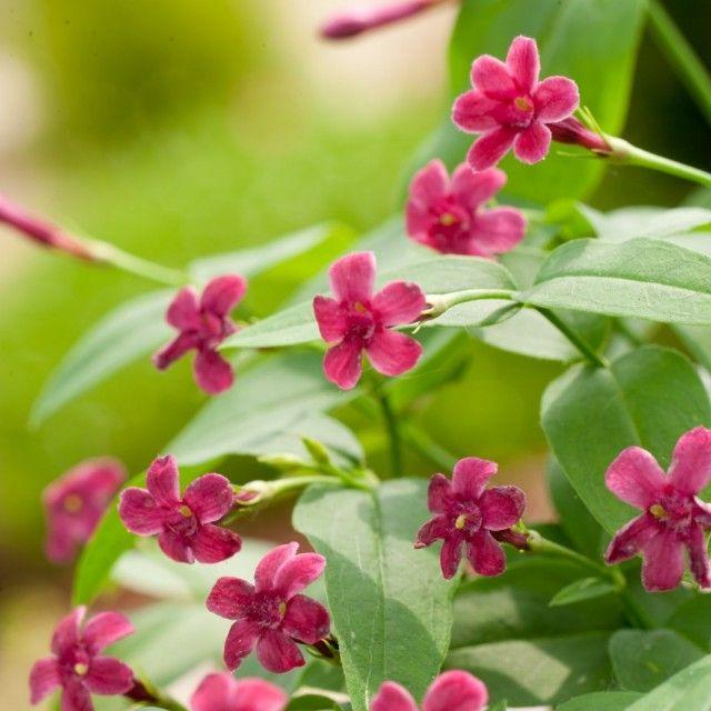 Цветки жасмина Биса