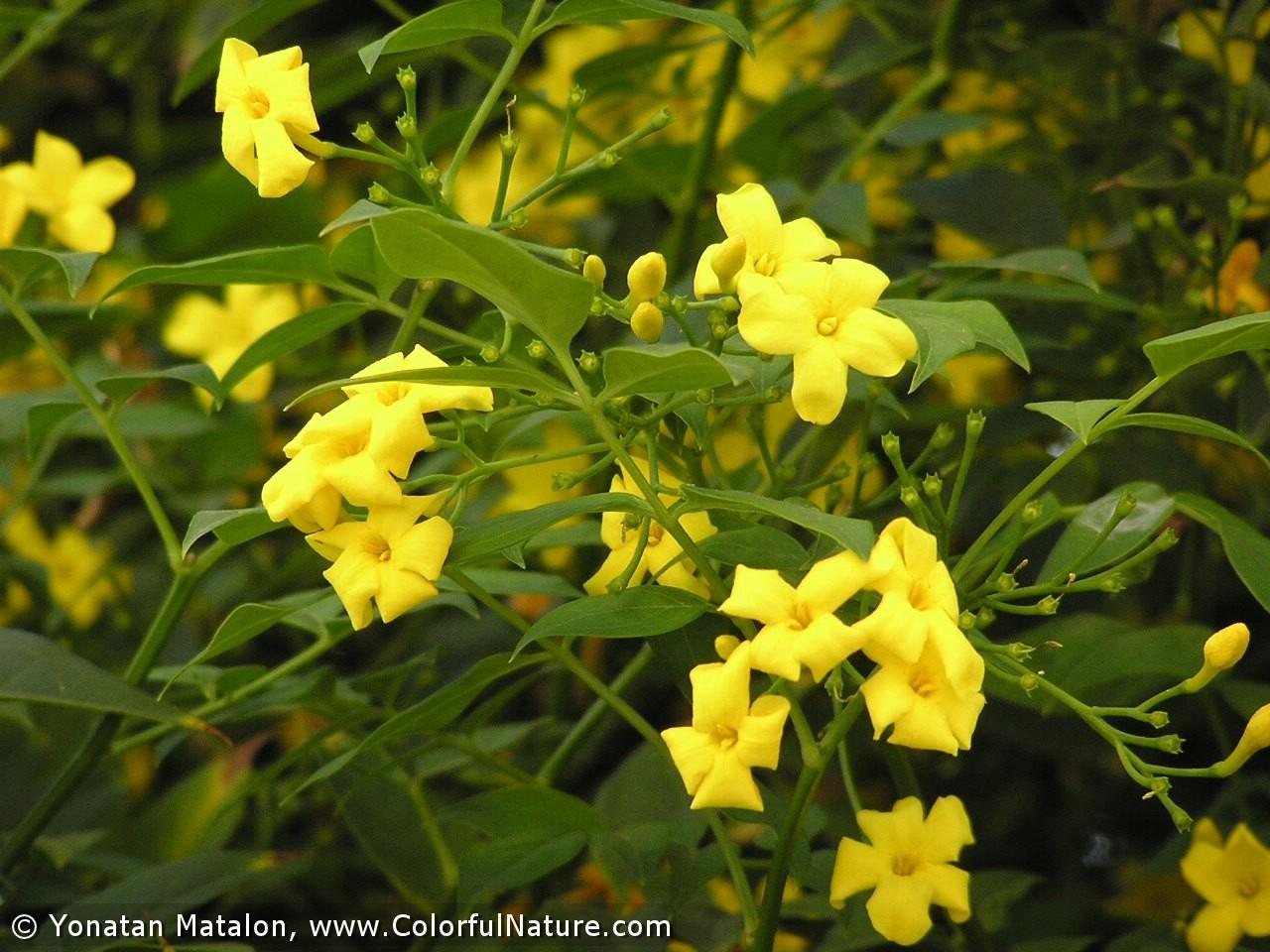 Цветки и веточки жасмина Низкого