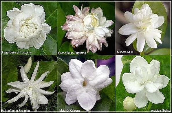 Цветки жасмина Самбак различных сортов