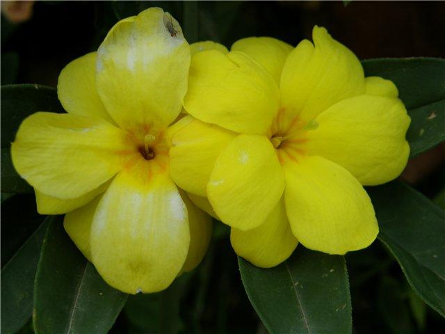 Цветки жасмина Японского очень похожи на цветки примулы