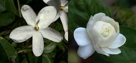Цветки жасмина Крупноцветкового разных сортов