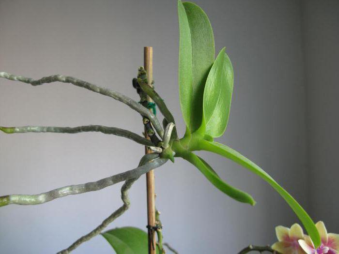 Через три месяца на срезе цветоноса должен появиться росток, будущая детка