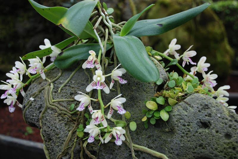 Орхидея растет на стволах деревьев и даже скалах