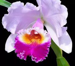 Цветы Фаленопсиса могут иметь самую невероятную форму и окраску