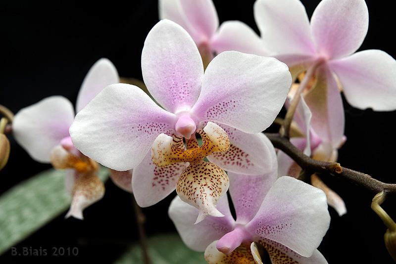Цветы растений этого вида — верх изящества