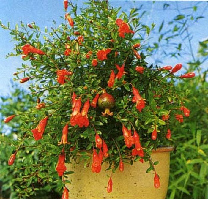 Гранат комнатный Бейби - красивейшее горшечное растение для комнат и зимних садов.