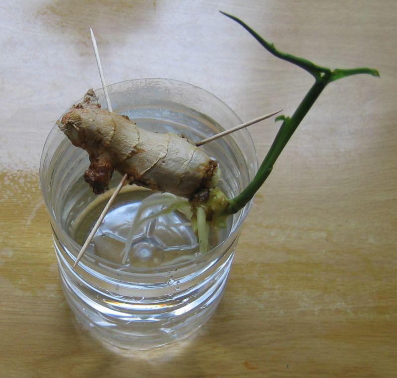 Можно сначала прорастить корневище в воде