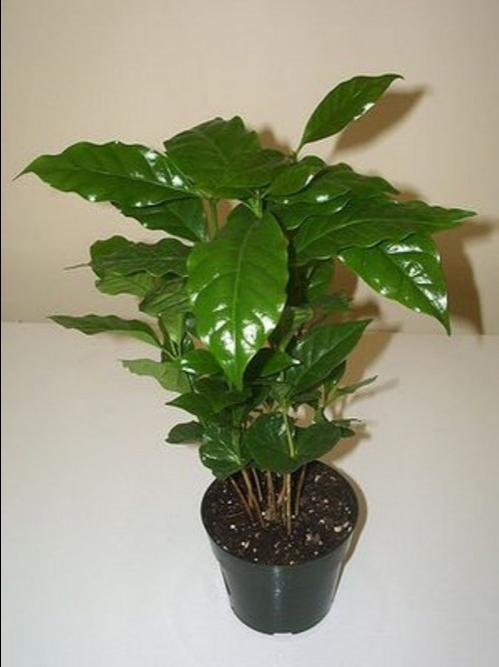 Кофе арабика - растение выращиваемое в домашних условиях